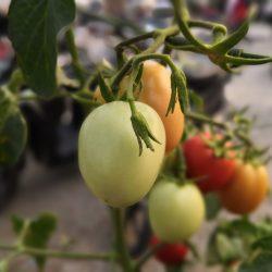 Aperture Tomat