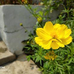 Foto Portrait Bunga Kuning
