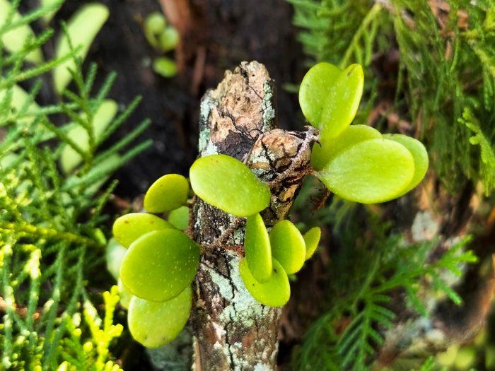 OPPOA74-Leaf-Macro